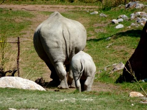 Das im Mai 2020 geborene Breitmaulnashorn Baby Ushindi mit Mutter in der Lewa Savanne des Zoo Zürich