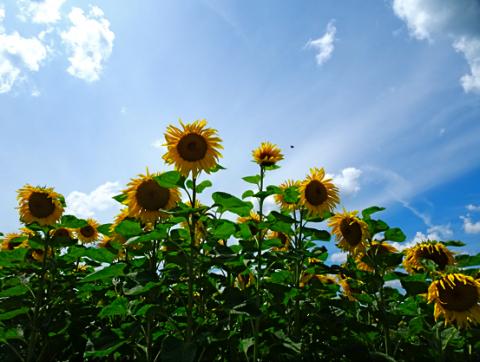 Sonnenblumenfeld bei den Langwieder Seen