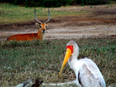 Afrikanischer Nimmersatt und Impala