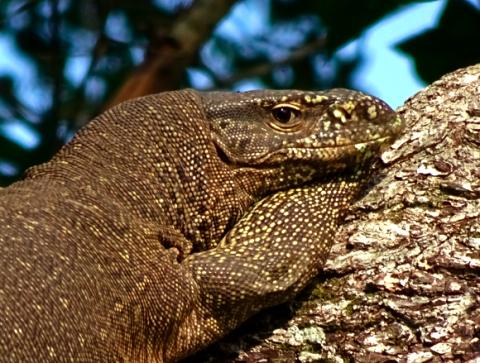 Bindenwaran im Yalla Nationalpark