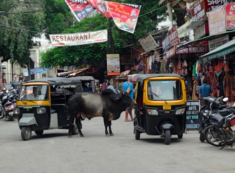 Kühe in Uidapurs Straßen