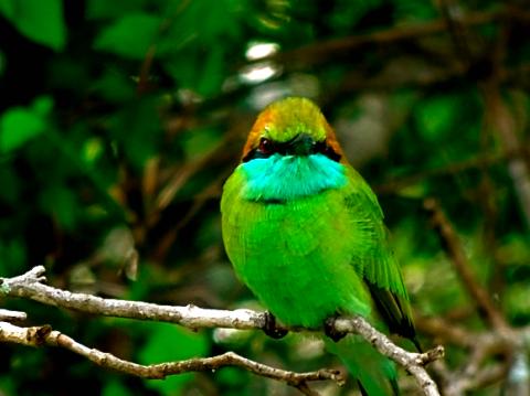 Smaragdspint (Bienenfresser) im Yalla Nationalpark