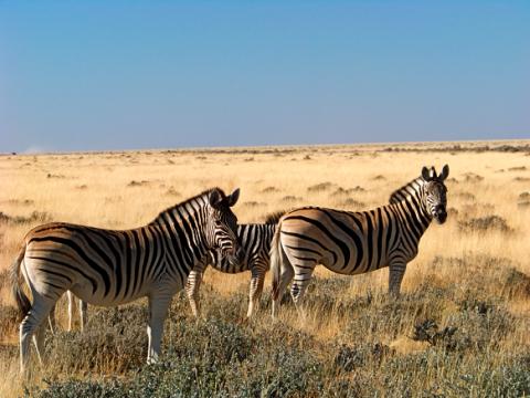 Zebras im Etosha Park