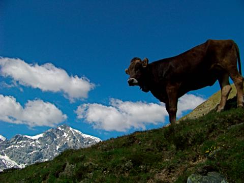 Standfeste Kuh in Südtirol