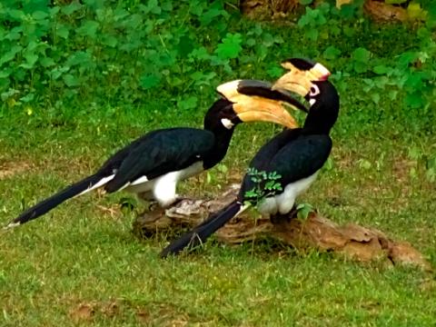 Malabarhornvogel Paar