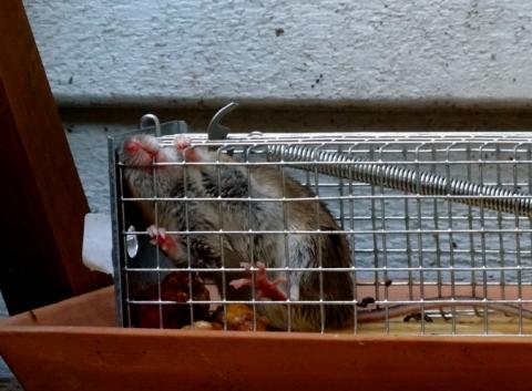 Lebendfalle Maus