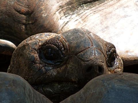 Riesenschildkröte am Anse Lasio Praslin
