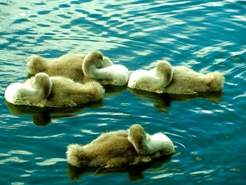 Schwanennachwuchs an Schwabinger See