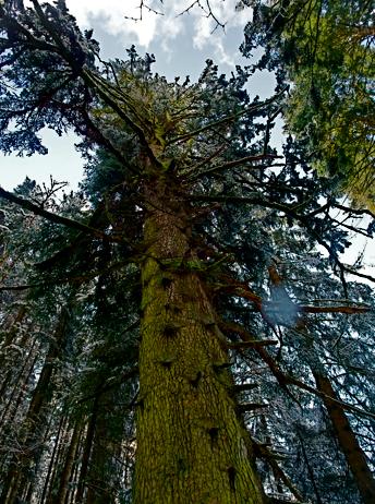 "Naturdenkmal ""Große Tann"" an der Bauernrast bei Lenggries"