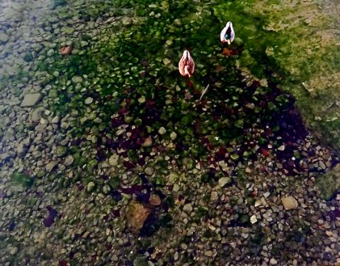 Entenpaar im Tegernsee