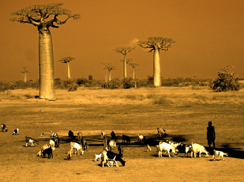 Avenue of the Baobabs, Morondava