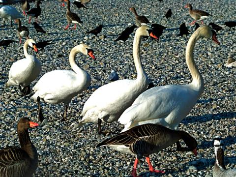 Wasservögel Flauchersteg