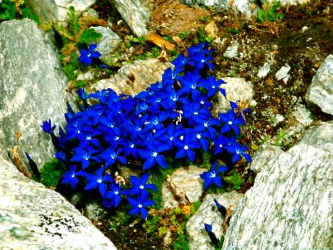 Bergflora