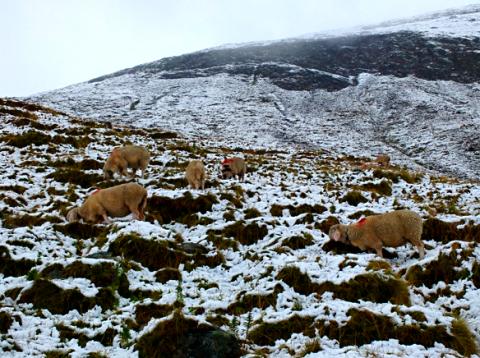 Schafe auf dem Weg zur Hochjoch-Hospiz