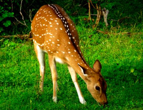 Axis im Yalla Nationalpark