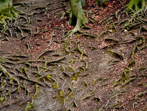Wurzeln am Hang zum Isarufer