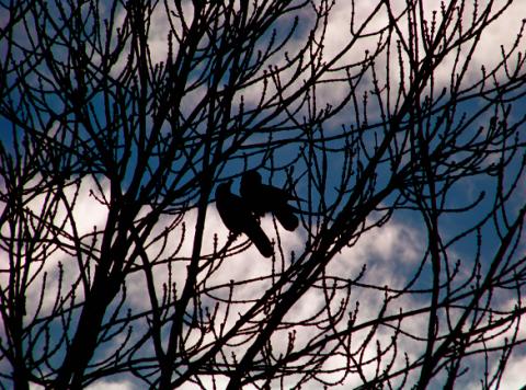 Krähen im Englischen Garten