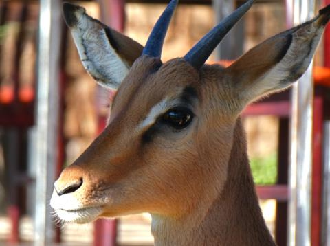 Junger Impalabock