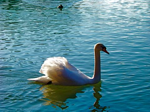 Schwan am Kleinhesseloher See