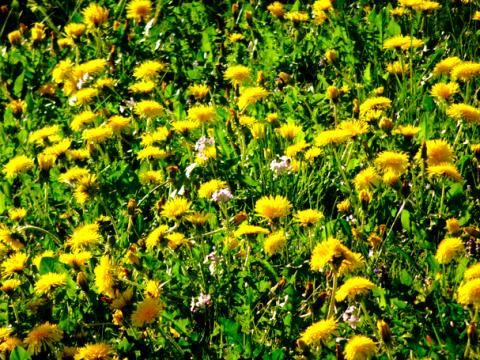 Frühlingswiese bei Schäftlarn