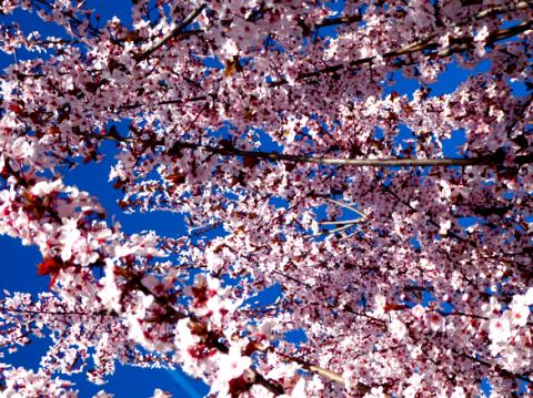 Kirschblüte im Monferrato