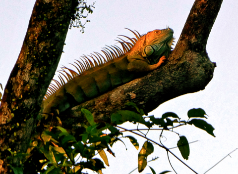 Grüner Leguan in Tortuguero