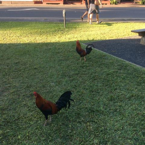 Wild Rooster Kauai